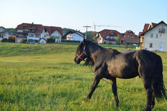 Black Horse on a Pasture Royalty Free Stock Image