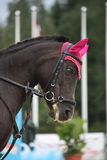 Black horse with pink hat portrait Stock Images