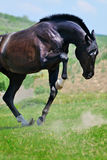 Black horse playing in the field Royalty Free Stock Photos