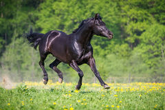 Black horse playing and runs gallop on the meadow in summer Royalty Free Stock Images