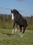 Black horse plays free Royalty Free Stock Images