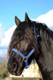 Black Horse Portrait Stock Image