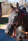 Black horse portrait. Horse is saddled and ready to ride Stock Photo