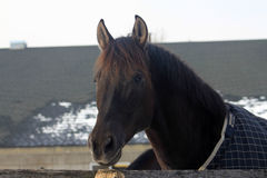 Black Horse Royalty Free Stock Images
