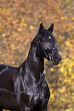 Black horse portrait Royalty Free Stock Images