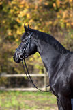 Black horse portrait Royalty Free Stock Photography