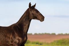 Black horse portrait Royalty Free Stock Photo