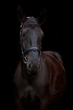 Black horse portrait on black background Stock Images