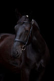 Black horse portrait on black background Stock Image