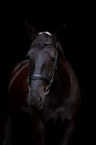 Black horse portrait on black background Royalty Free Stock Photo