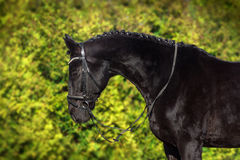 Black horse portrait. In bridle Royalty Free Stock Photography
