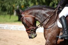 Black horse portrait during dressage competition. In summer Stock Image