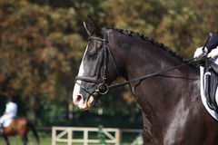 Black horse portrait during dressage competition. Black beautiful horse portrait during dressage competition Royalty Free Stock Photography