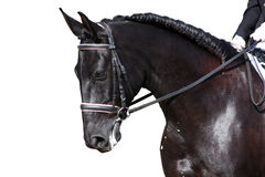 Black horse portrait during dressage competition isolated on whi Royalty Free Stock Images