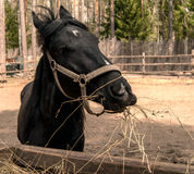 Black horse portrait Stock Photo