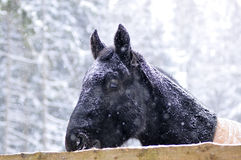 Black horse portrait in heavy snow fall with snow all over Royalty Free Stock Photos