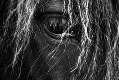 Black Horse Portrait - Icelandic Horse - Black and White Stock Image