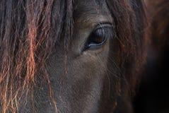 Black Horse Portrait - Icelandic Horse Stock Images