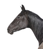 Black horse portrait isolated on white Stock Photos