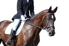 Black horse portrait during isolated on white. Black beautiful horse portrait during dressage competition isolated on white Stock Photo