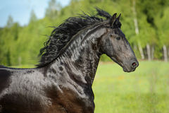 Black horse portrait in motion. In summer Royalty Free Stock Photography