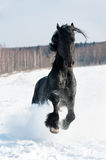 Black horse portrait in motion on the snow Stock Image