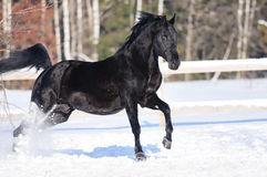 Black horse portrait in motion on the snow Royalty Free Stock Photography