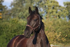 Black horse portrait in summer Royalty Free Stock Images