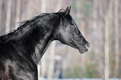 Black horse portrait in winter Royalty Free Stock Images