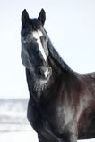 Black horse portrait in winter stock photos