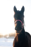 Black horse portrait in winter Stock Photography