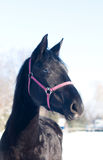 Black horse portrait in winter Royalty Free Stock Photos