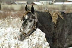 Black horse portrait on winter snow landscape Stock Photography