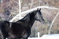 Black horse portrait in winter time Stock Photography