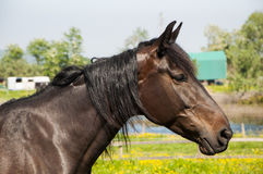 Black horse in profile Royalty Free Stock Image