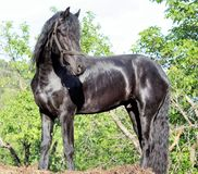 Black horse breed friesian royalty free stock images