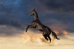 Black horse rearing up Stock Image