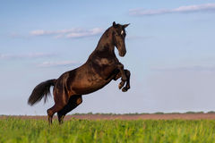 Black horse rearing up Royalty Free Stock Photography