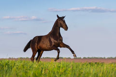 Black horse rearing up Royalty Free Stock Images
