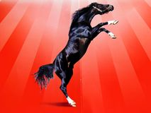 Black horse on red background Royalty Free Stock Photos