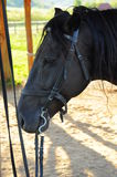 Black horse riding. Splendid black horse ready for riding stock photography