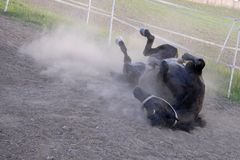 Black horse rolling in dirt Stock Photos