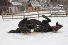 A black horse rolling in the snow Stock Photography