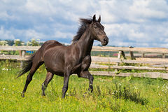 Black horse run. In field Stock Photo