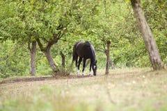 Black horse run free on beautiful meadow Stock Image