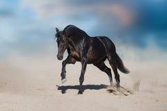 Black horse run. Horse free run in desert dust against beautiful sky stock photo