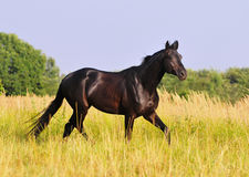 Black horse run free in summer field Royalty Free Stock Photography