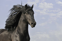 Black horse run gallop Royalty Free Stock Images