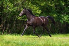 Black horse run Royalty Free Stock Photo