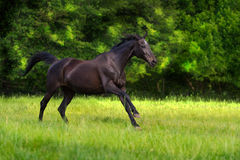 Black horse run Royalty Free Stock Images